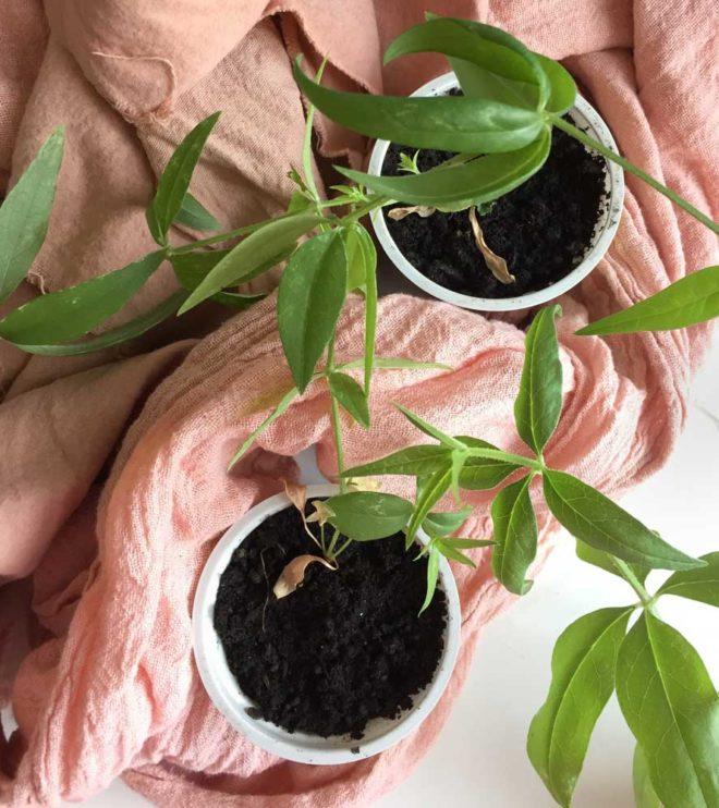 Zwei junge Krapppflanzen und krappgefärbter Stoff
