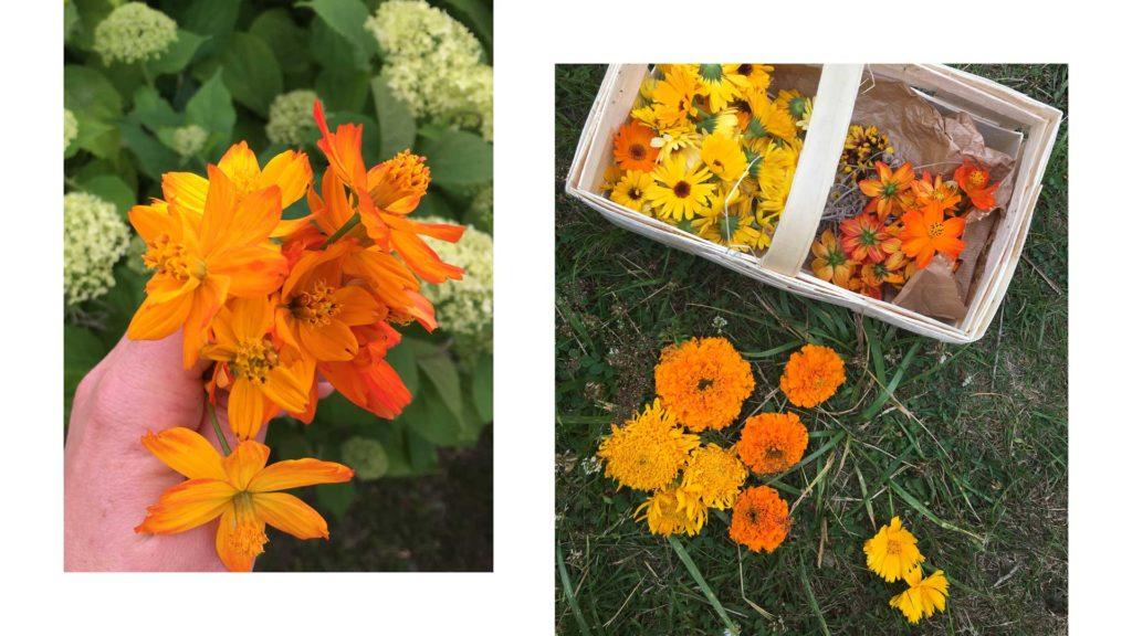 Färberpflanzen im Garten – Sommer