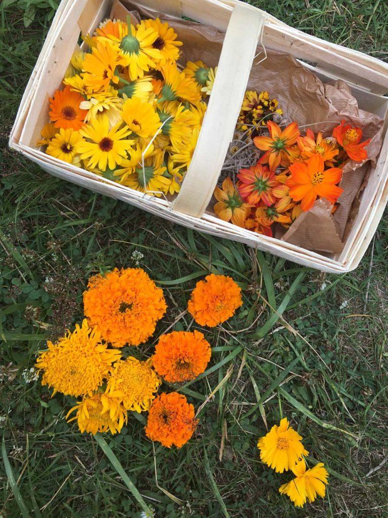 Blüten ernten bei den Färberpflanzen im Garten
