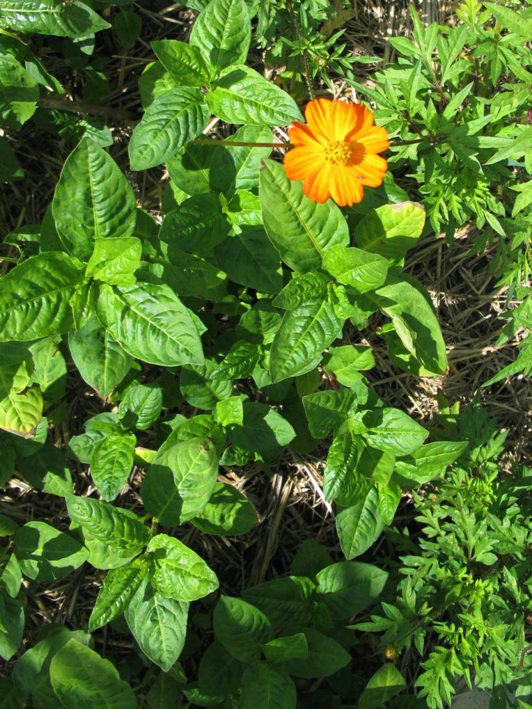 Färberknöterich oder japanischer Indigo im Garten