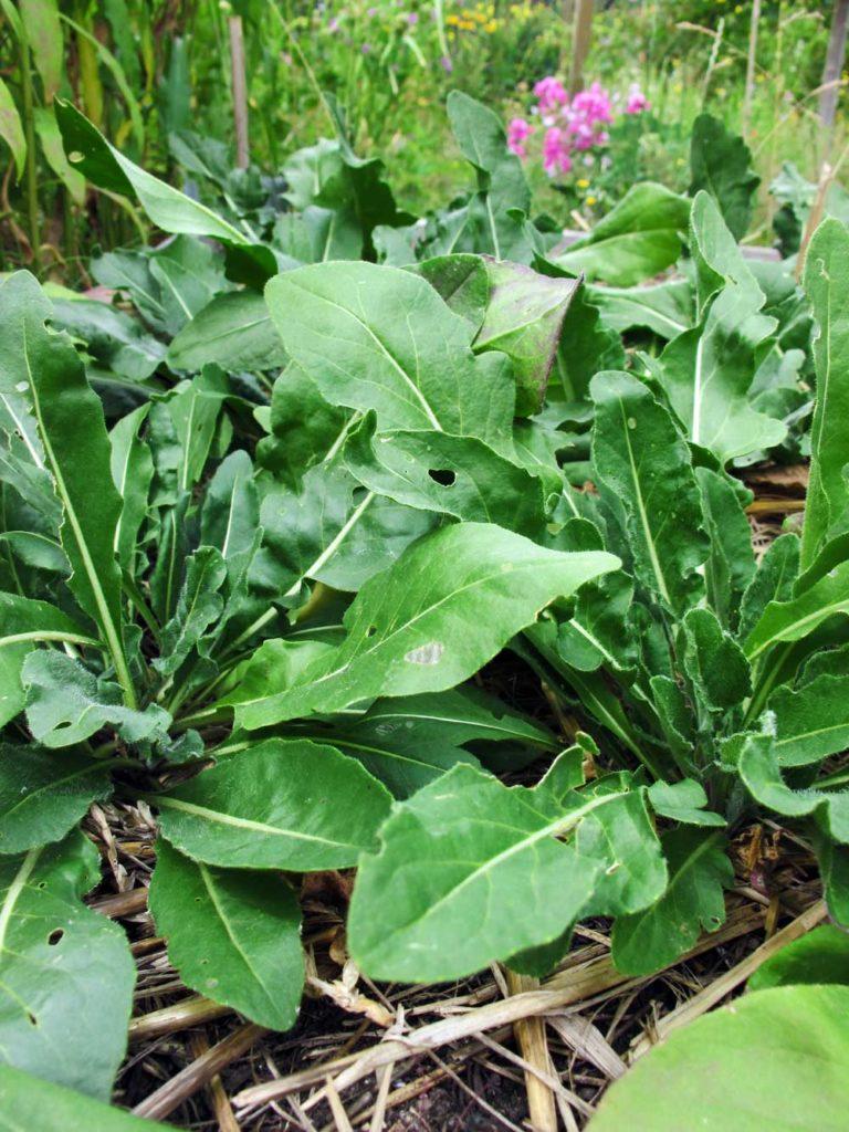 Färberpflanzen im Garten: Waid im ersten Jahr