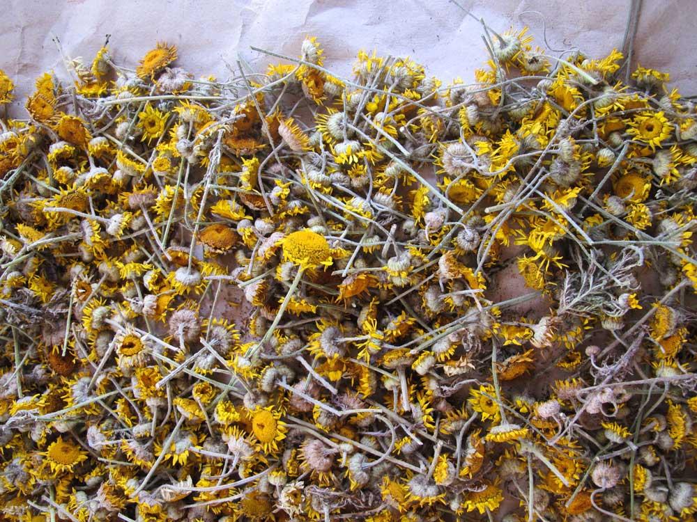 Färberpflanzen trocknen: gelbe Kamille