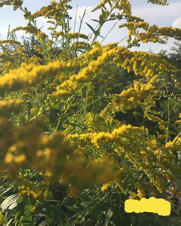 Gelb färben mit Goldrute: jetzt sammeln