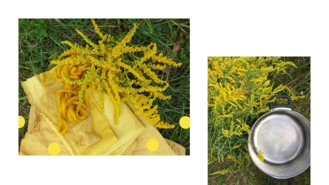 Gelbe Stoffe gefaerbt mit Goldrute und Faerbetopf