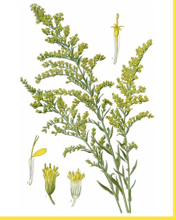 Färberpflanze Kanadische Goldrute