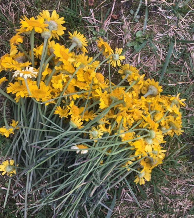 Gelbe Blueten von Faerberkamille