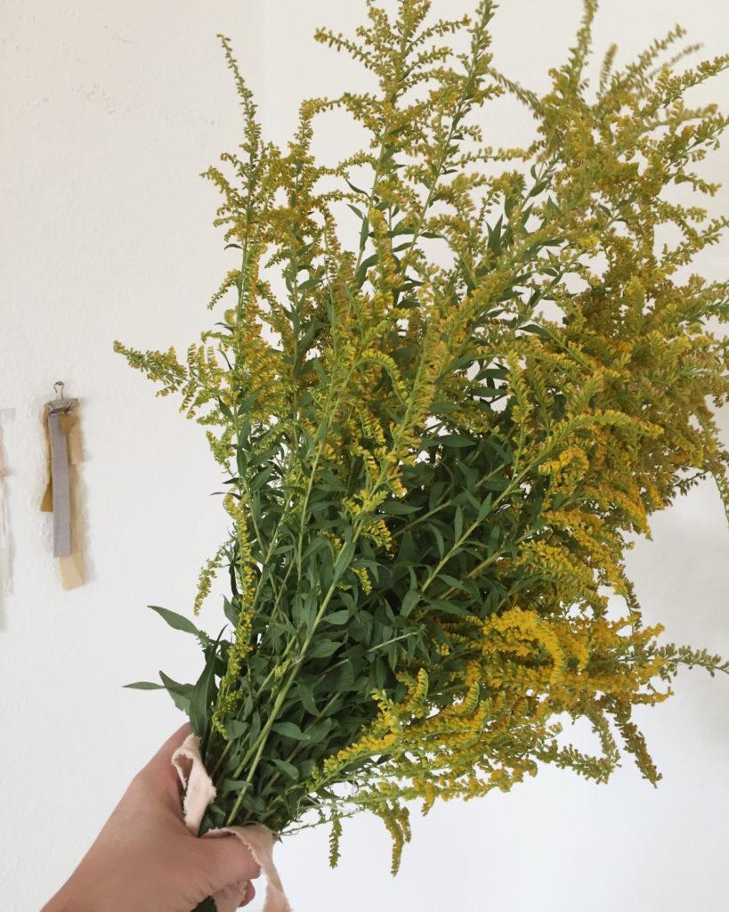 Faerberpflanzen sammeln: Ein Strauss Goldrute aus dem Garten